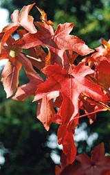 Liquidambar 'Elstead Mill'